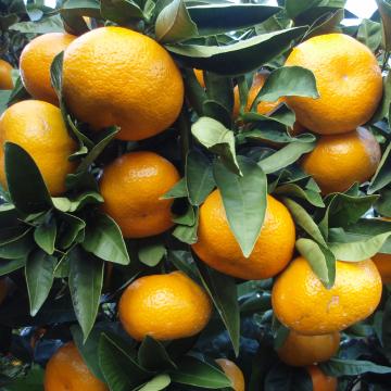 Citrus fruits from Peru to enter Japan April 20, 2016 | By Boginya ...