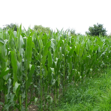 Paraguay is the seventh maize exporter in the world