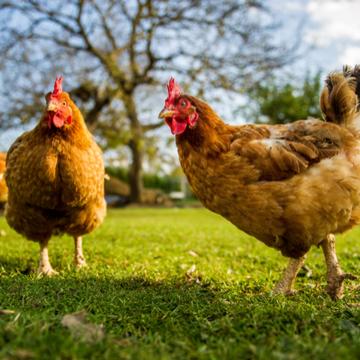 Brasil inicia exportação de carne de frango para Índia