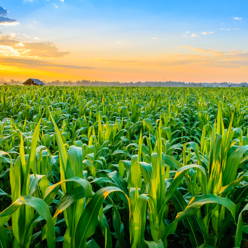 Nigeria's corn production to reach 22m tonnes in 2020